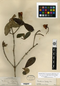 Image of Ternstroemia maltbyi
