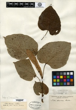 Image of Tilia eburnea