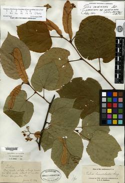 Image of Tilia lasioclada