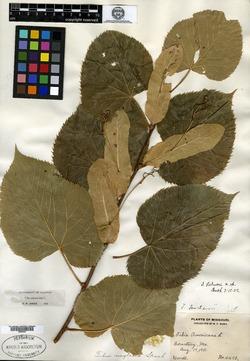 Tilia palmeri image