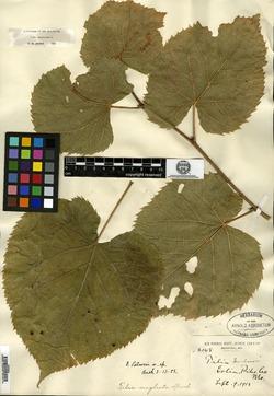 Image of Tilia palmeri