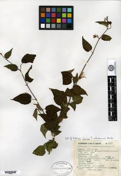 Image of Triumfetta columnarioides