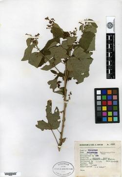 Image of Triumfetta heliocarpoides
