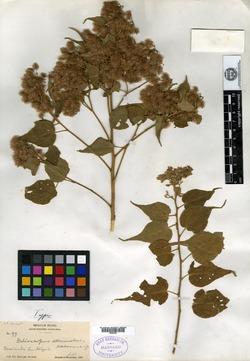 Heliocarpus attenuatus image