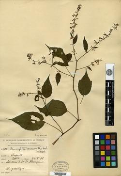 Image of Triumfetta acracantha