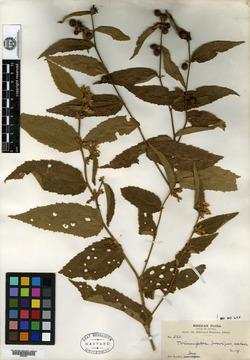 Image of Triumfetta brevipes