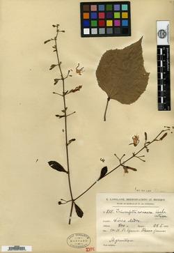 Image of Triumfetta coriacea
