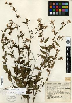 Image of Triumfetta quercetorum