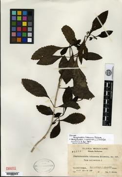 Image of Stachytarpheta tabascana