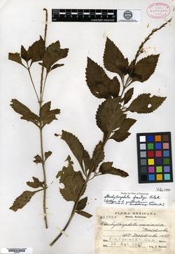 Stachytarpheta guatemalensis image