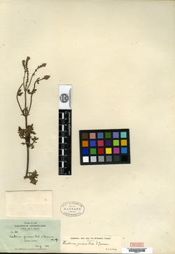 Verbena grisea image
