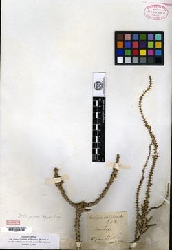 Verbena seriphioides image