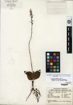 Image of Goodyera zacuapanensis