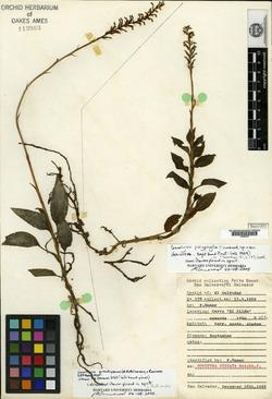 Image of Goodyera polyphylla