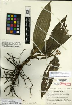 Palmorchis trilobulata image