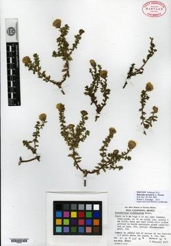 Image of Bajacalia moranii