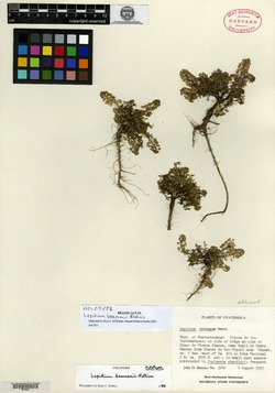 Image of Lepidium beamanii