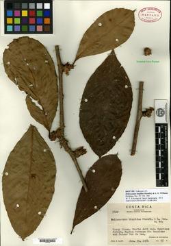 Image of Doliocarpus hispidus