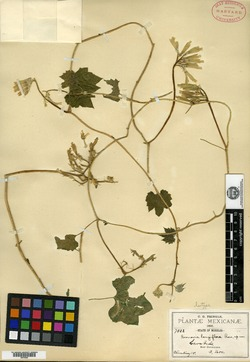 Image of Gronovia longiflora