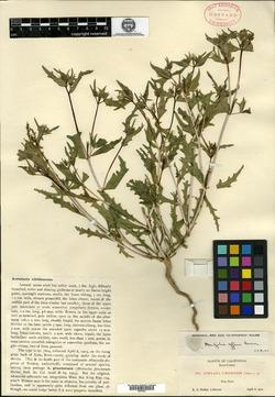 Image of Acrolasia viridescens