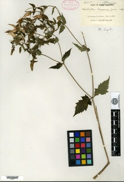 Image of Mentzelia hispida