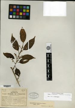 Otoba acuminata image