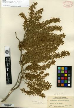 Ledenbergia macrantha image