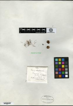 Image of Larix alaskensis
