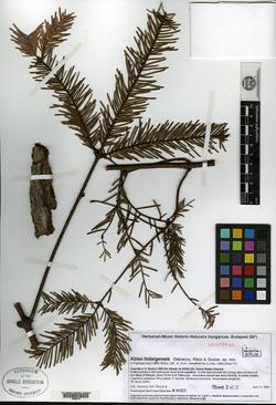 Image of Abies hidalgensis