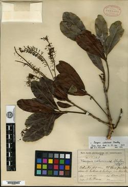 Panopsis costaricensis image