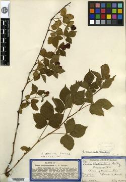 Rubus rhodinsulanus image