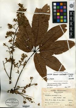 Image of Sterculia ornatisepala
