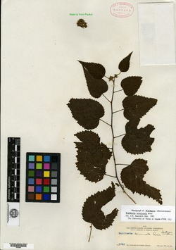Waltheria acuminata image
