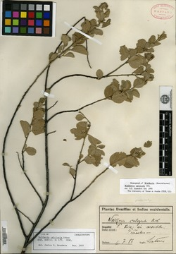 Image of Waltheria calcicola