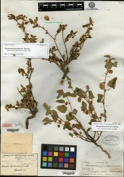 Hermannia pauciflora image