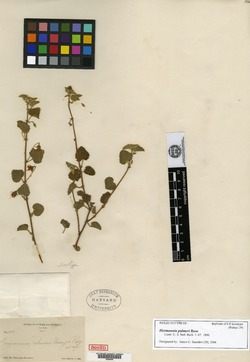 Image of Hermannia palmeri