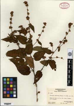 Image of Melochia nudiflora