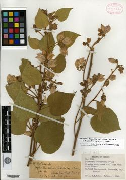 Image of Melochia oaxacana