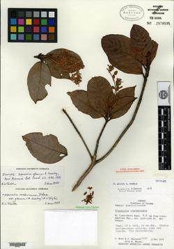 Sterculia costaricana image