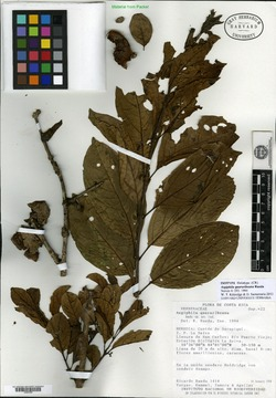 Image of Aegiphila quararibeana