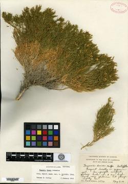 Image of Fagonia densa