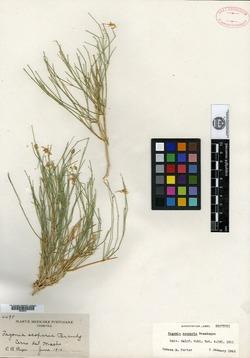 Image of Fagonia scoparia