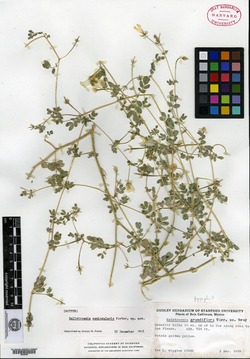 Image of Kallstroemia peninsularis