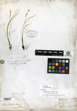 Nemastylis tenuis image