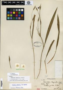 Image of Alophia silvestris
