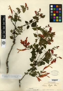 Image of Salvia betulifolia