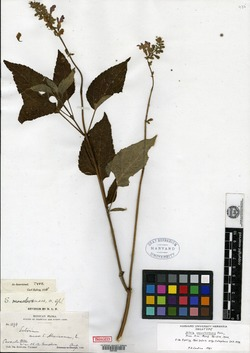 Image of Salvia monclovensis