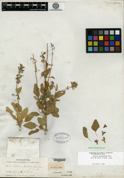Image of Salvia platycheila