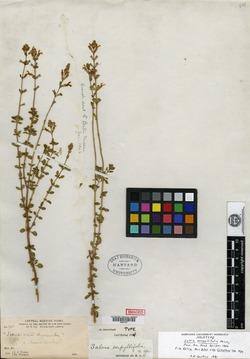 Image of Salvia serpyllifolia
