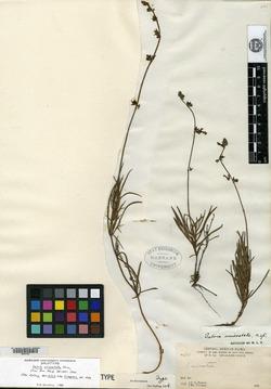 Image of Salvia unicostata